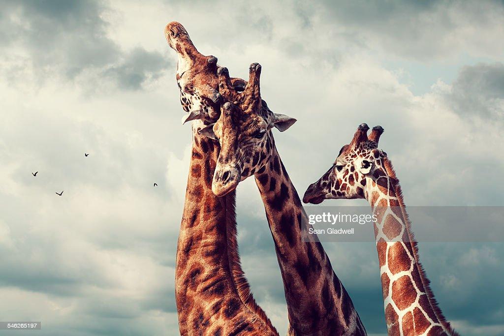 Giraffes bonding.