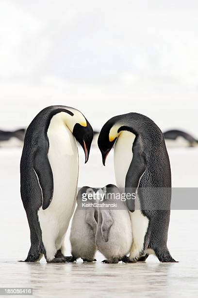 bonding time - pinguïn stockfoto's en -beelden