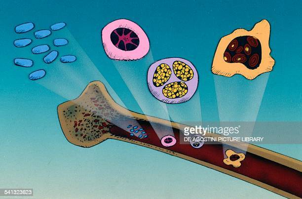 Bone marrow producer of blood cells drawing