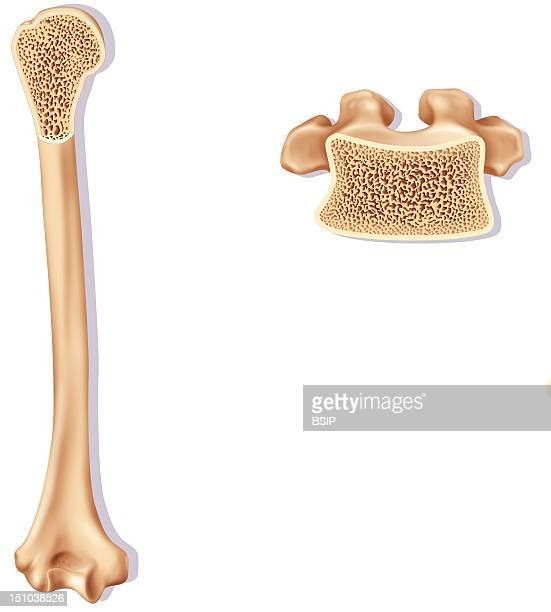 Humerus Stock Photos And Pictures Getty Images