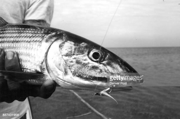 Bonefish is pictured with fly it fell for in waters of southeast Cuba Credit The Denver Post