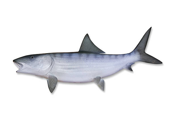 Bonefish With Clipping Path Wall Art