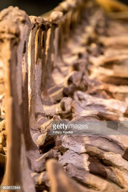 bones close-up - animal rib cage stock photos and pictures