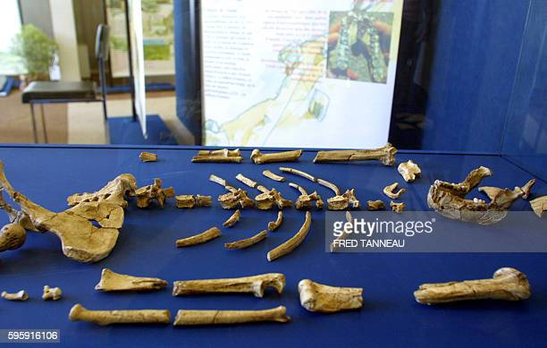 "Bones from the skeleton of a female australopithecus, aka Lucy specimen, are seen on July 10, 2004 in Carnac as part of an exhibition ""Lucy in..."