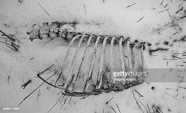bones in a field in the winter - animal rib cage stock photos and pictures
