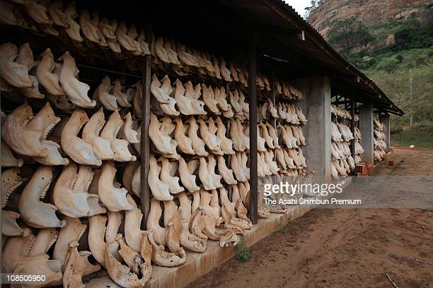 Bones of African elephants are seen at a research center at the Tsavo National Park on February 22 2010 in Nairobi Kenya forty percent of the bones...