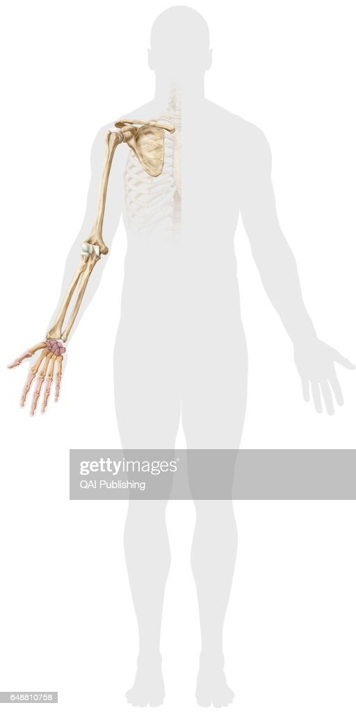 Bones Of Arm Bones Of The Arm From The Hand To The Scapula News