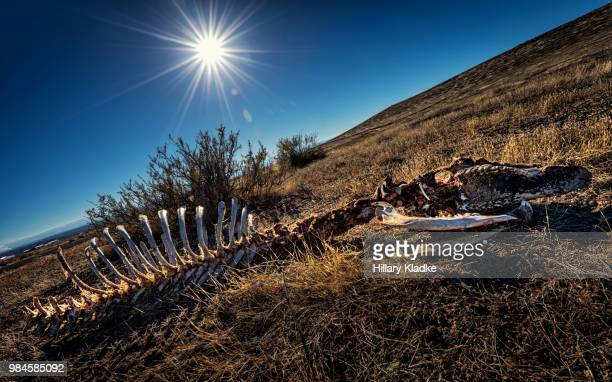 bones of cow in field - extinct stock pictures, royalty-free photos & images
