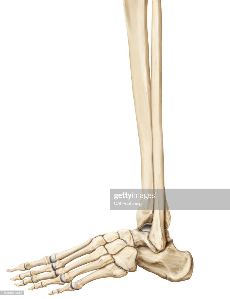 Bones Of Leg Bones Of The Leg And The Foot News Photo Getty Images