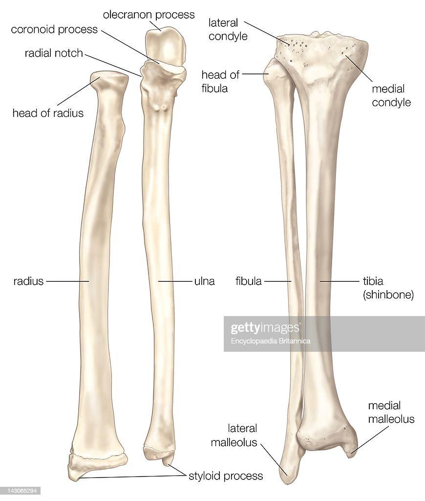 Radius Fibula Diagram Archive Of Automotive Wiring Tormax Bones The Forearm And Lower Leg Ulna Rh Gettyimages Com