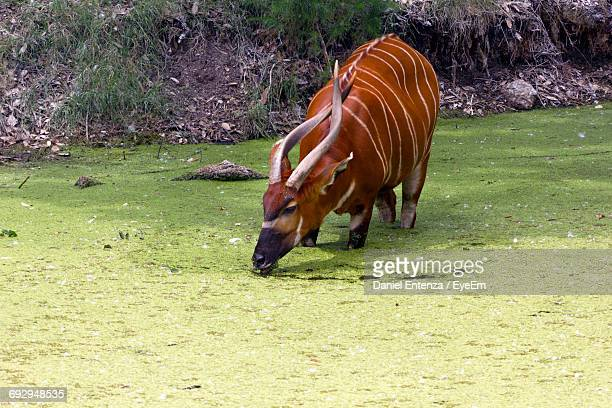Bongo Standing In Algae Covered Lake