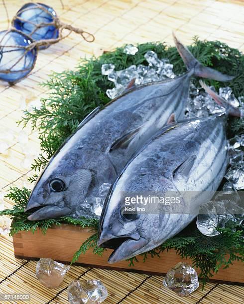 bonito - atún pescado fotografías e imágenes de stock