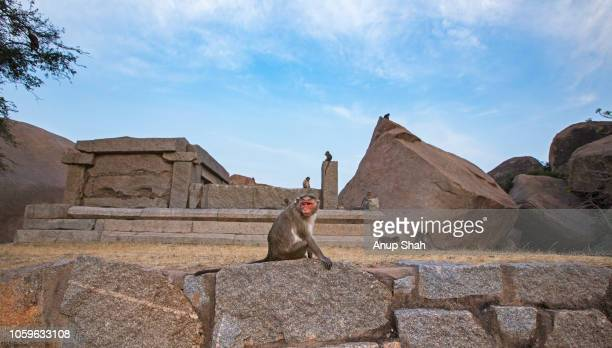 bonnet macaque female sitting on a wall while others play around a temple - category:cs1_maint:_others stock pictures, royalty-free photos & images