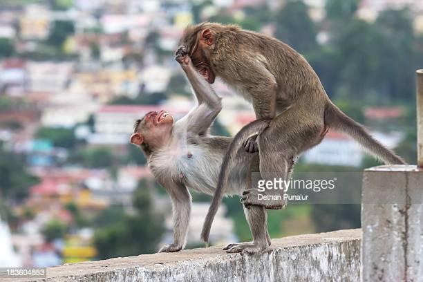 Bonnet Monkeys (Macaca radiata) mating