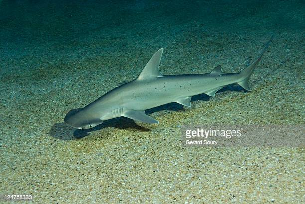 bonnethead (sphyrna tiburo) seaquarium du grau du roi, france - hammerhead shark stock photos and pictures