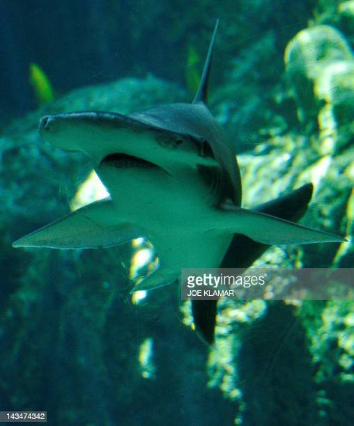 A Bonnethead shark swims at the Aquarium of the Pacific in Long Beach California on April 26 2012The Aquarium features a collection of over 11000...