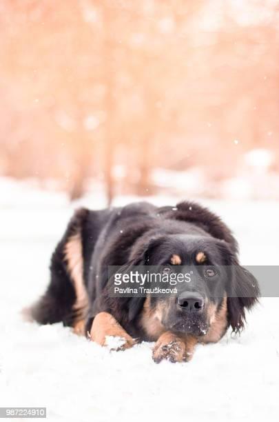 bonnie - tibetan mastiff stock photos and pictures