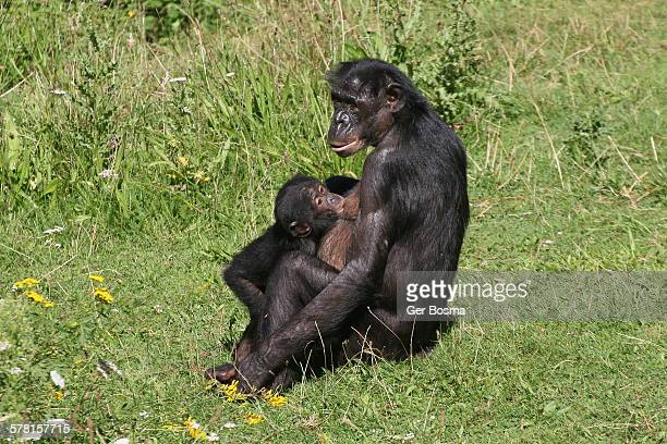 bonobo baby drinking from mother's breast - black dwarf stock pictures, royalty-free photos & images