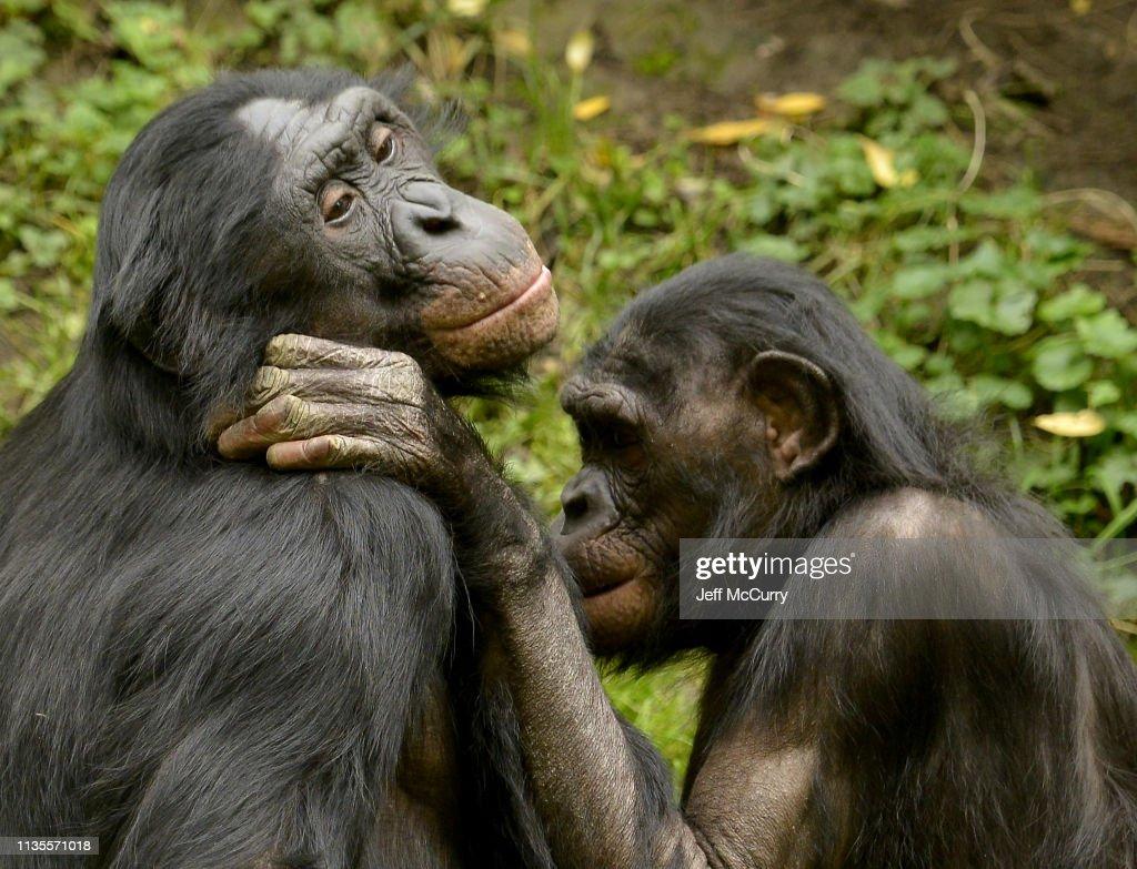Bonobo Family : Stock Photo