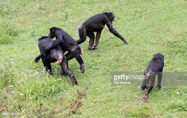 bonobo family - big bums stock photos and pictures