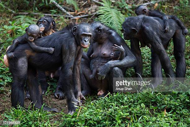 Bonobo female with babies standing in a group