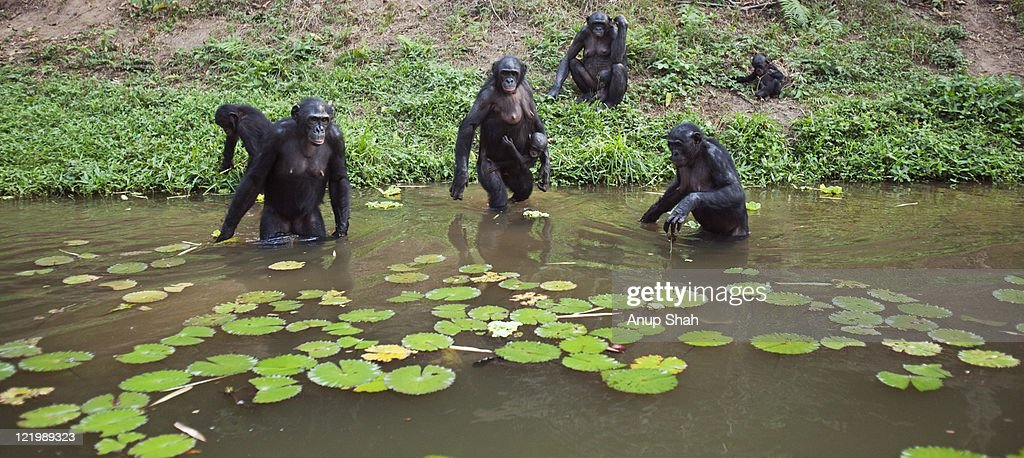 Bonobo females foraging at the edge of a lake : Stock Photo