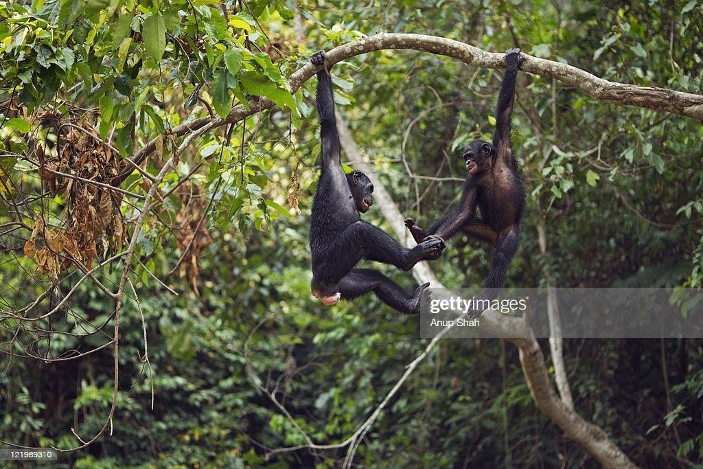 Bonobo females swinging in the trees : Stock Photo