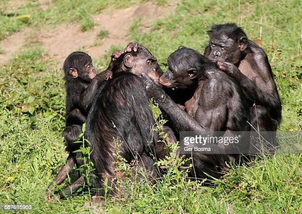 Bonobo happy grooming session