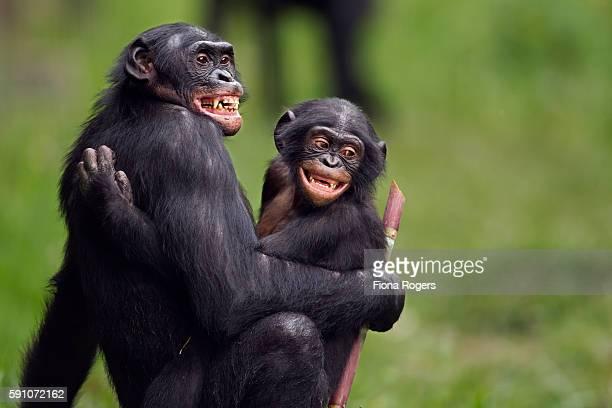 bonobo mature male 'manono' and juvenile male 'pole' in act of sexual stimulat - accoppiamento animale foto e immagini stock