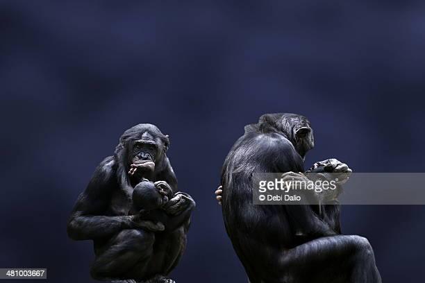 Bonobo Mothers and Babies