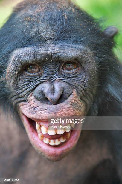 bonobo (pan paniscus) with fear grin, might be seen when a lower ranked chimp is approached by a higher-ranking animal. sanctuary lola ya bonobo chimpanzee, democratic republic of the congo - chimpanzee teeth stock pictures, royalty-free photos & images