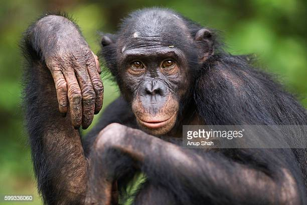 bonobo young female 'sankuru' portrait - chimpanzee stock pictures, royalty-free photos & images