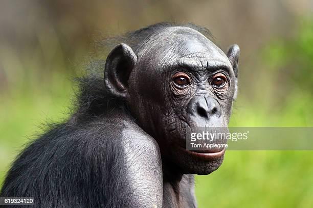 bonobos chimpanzee