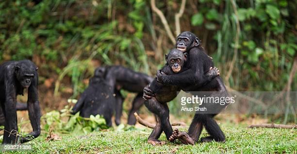 bonobos embracing - gruppo di animali foto e immagini stock