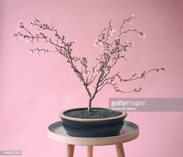 bonsai cherry tree in bloom - 盆栽 ストックフォトと画像