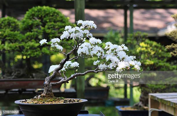 bonsai cherry tree - bonsai tree stock pictures, royalty-free photos & images