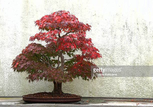 Bonsai Fall Foliage