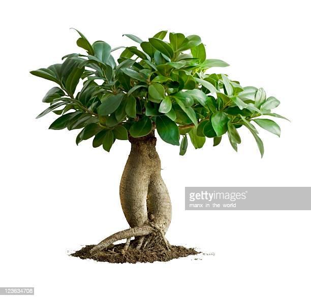 Bonsai, Ficus Microcarpa Ginseng
