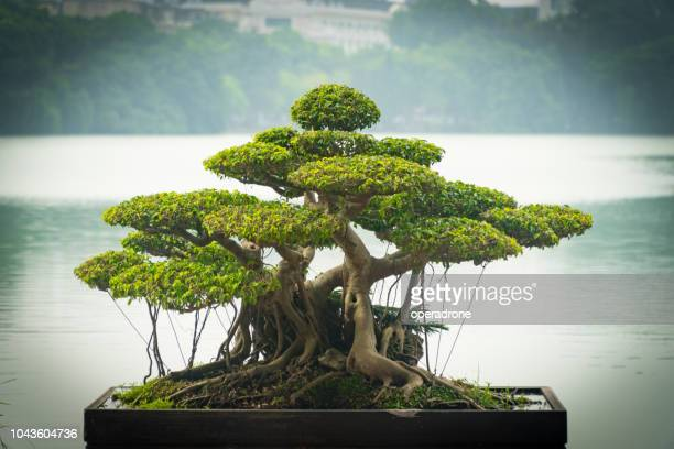bonsai in hanoi - bonsai tree stock pictures, royalty-free photos & images