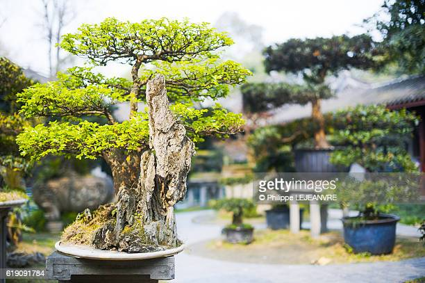 Bonsai in people's park, Chengdu