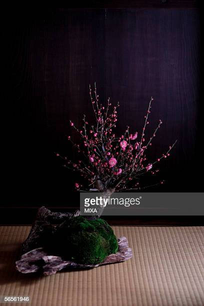 Bonsai of Japanese plum