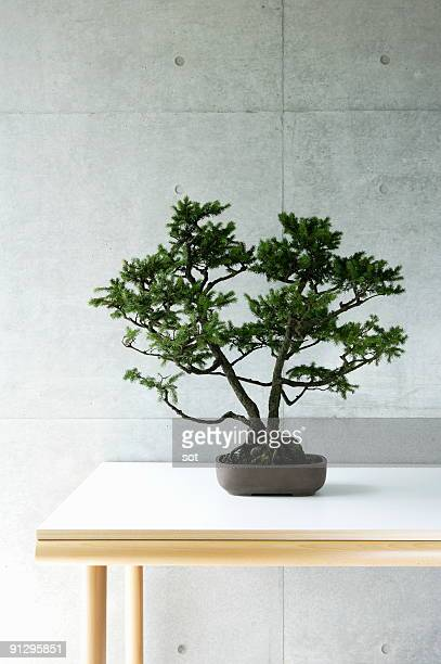 a bonsai on the desk. - bonsai tree stock pictures, royalty-free photos & images