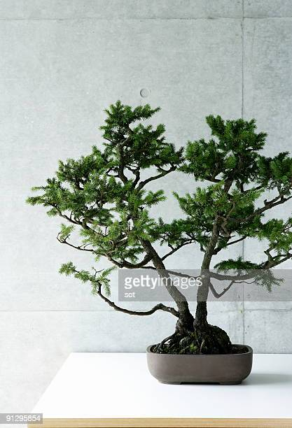 A bonsai on the desk.
