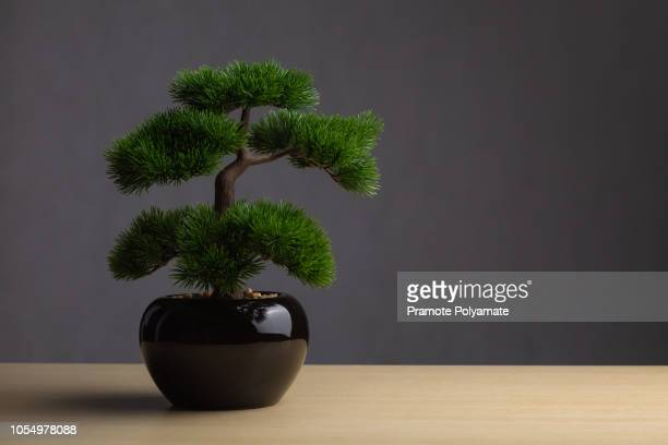 bonsai on the desk. the backdrop is a dark gray background. the bonsai concept adorned the desk to reinforce the aura, japanese whitepine bonsai. - 盆栽 ストックフォトと画像
