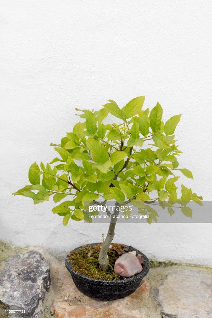 Bonsai : ストックフォト