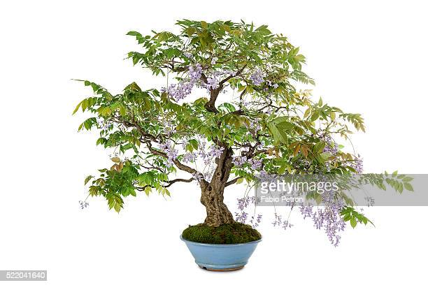 73 Lilac Bonsai Photos And Premium High Res Pictures Getty Images