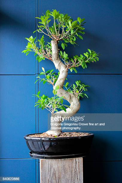 bonsai - gregoria gregoriou crowe fine art and creative photography. stock pictures, royalty-free photos & images