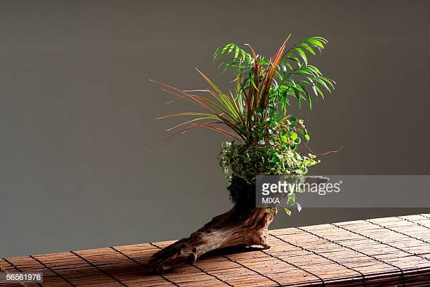 bonsai - wabi sabi - fotografias e filmes do acervo