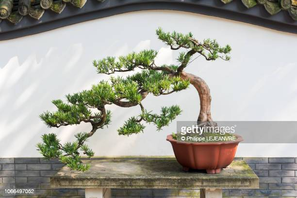bonsai pine tree in a pot against white wall - bonsai tree stock pictures, royalty-free photos & images