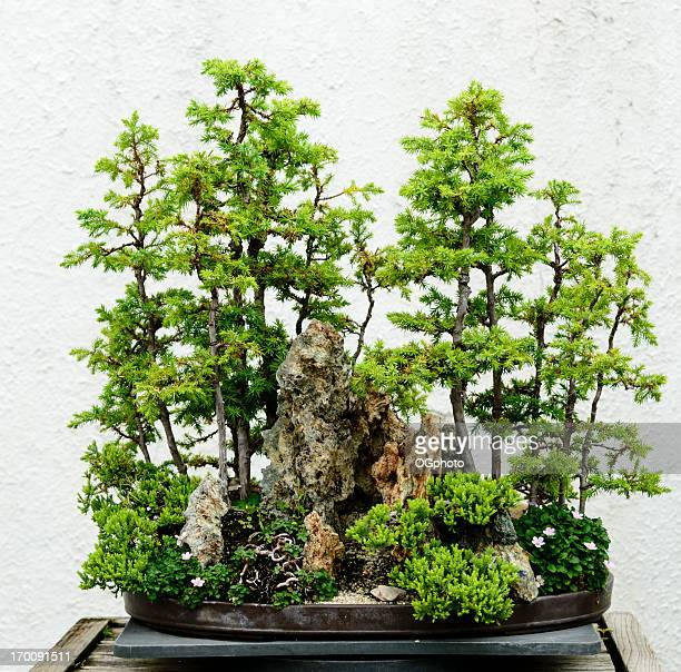 bonsai tree grove - ogphoto stock pictures, royalty-free photos & images